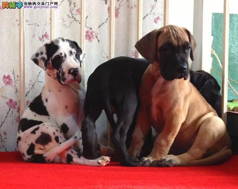 纯血统大丹犬幼犬,CKU认证品质,专业信誉服务