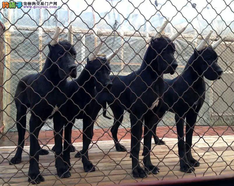 最大犬舍出售多种颜色大丹犬品相一流疫苗齐全