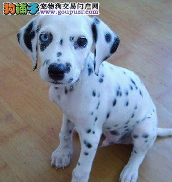 邵杰犬舍出售 赛级品质 斑点狗幼犬 保健康签协议