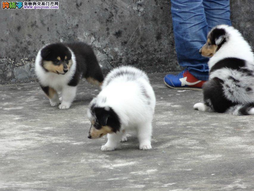 邵杰犬业出售苏格兰牧羊犬幼犬,保健康签协议
