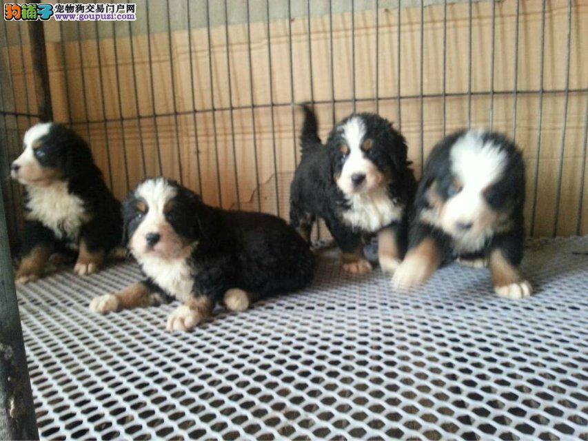 基地繁殖 纯种健康伯恩山幼犬、三年联保、可签协议