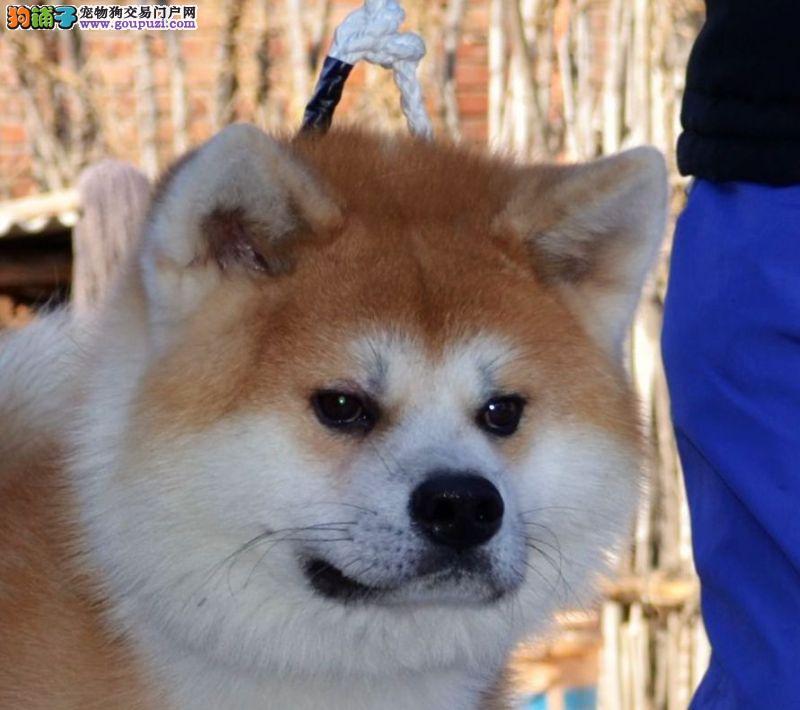 秋田犬幼犬出售 北京正规犬舍出售秋田犬幼犬