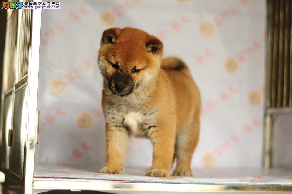 赛级日本柴犬幼犬出售纯种柴犬狗狗多只可挑选