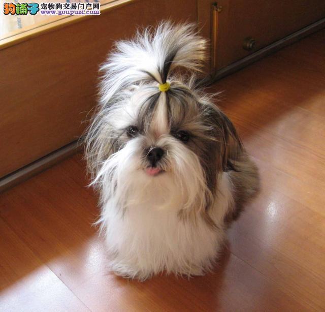 顶级可爱西施犬,赛级血统,保健康纯种,可以上门挑选