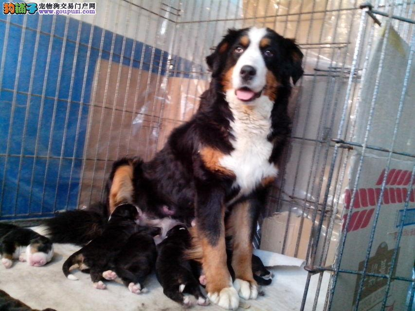 纯种健康伯恩山幼犬、三年联保、可签协议