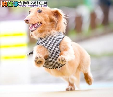 活泼、勇敢、有点轻率的狗狗腊肠犬