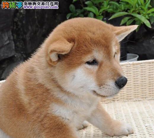 CKU认证犬舍 专业出售极品 柴犬幼犬狗贩子请勿扰