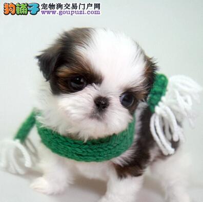 CKU认证犬舍 专业出售极品 西施犬幼犬克拉玛依地区可包邮
