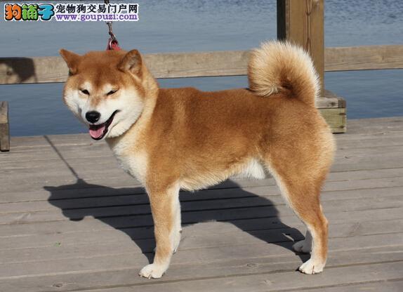 狗场直销出售纯种柴犬幼犬纯种健康上门挑选