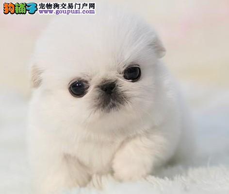 最大犬舍出售多种颜色京巴微信咨询看狗狗照片