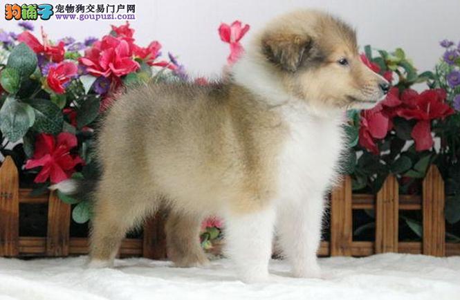 超高贵的苏格兰牧羊犬-苏牧-美丽聪明的中型犬