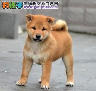 纯种日本柴犬 可爱的小精灵城市家庭伴侣犬健康好品种