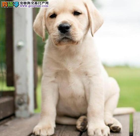 导盲 护卫犬拉布拉多犬出售 陪伴犬首选 让您开心欢乐