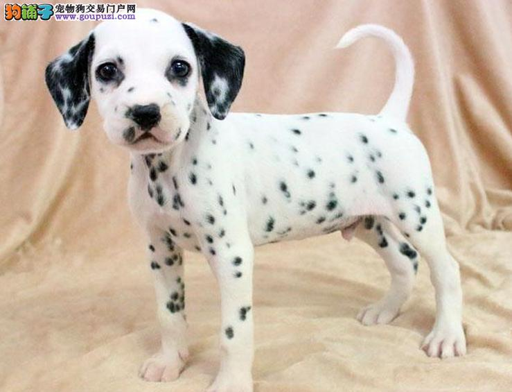 常德CKU认证犬舍出售高品质斑点狗可刷卡可视频