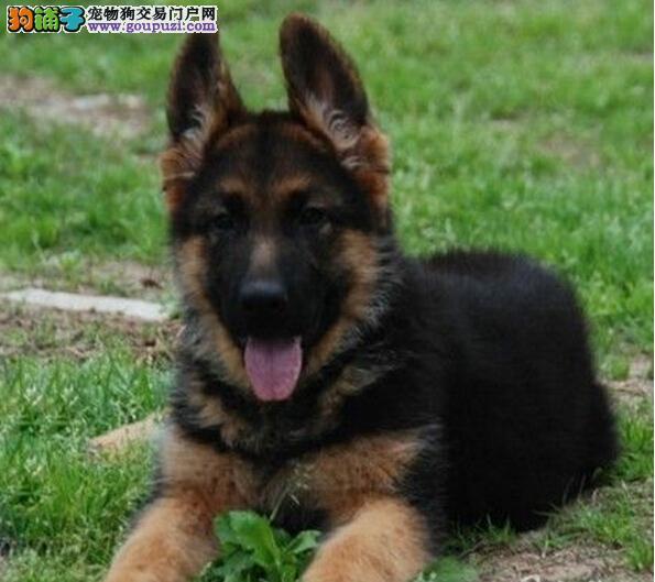 优质狼狗犬出售 大头黑脸尖嘴 品相完美品种纯正送狗链