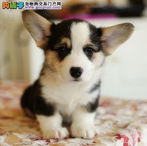 纯种优良柯基犬 纯种柯基幼犬 威尔士柯基犬