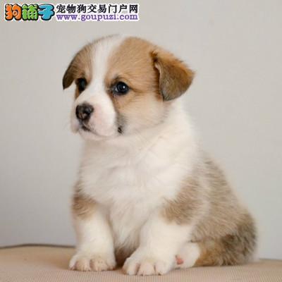 正规售纯种柯基幼犬 可办血统证书 实物图片上门可见