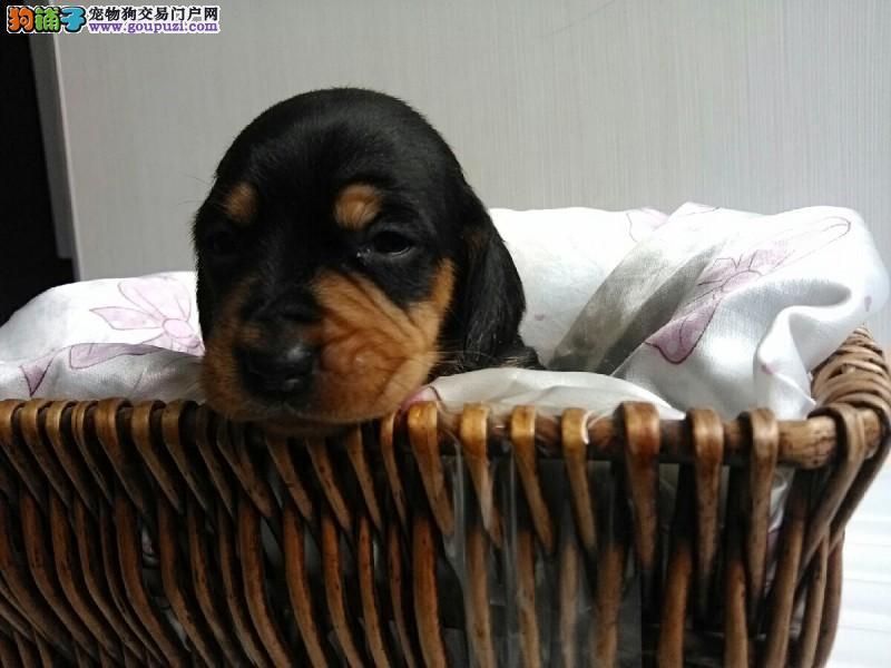 基地专业繁殖保纯种保健康腊肠幼犬,可签质保协议。