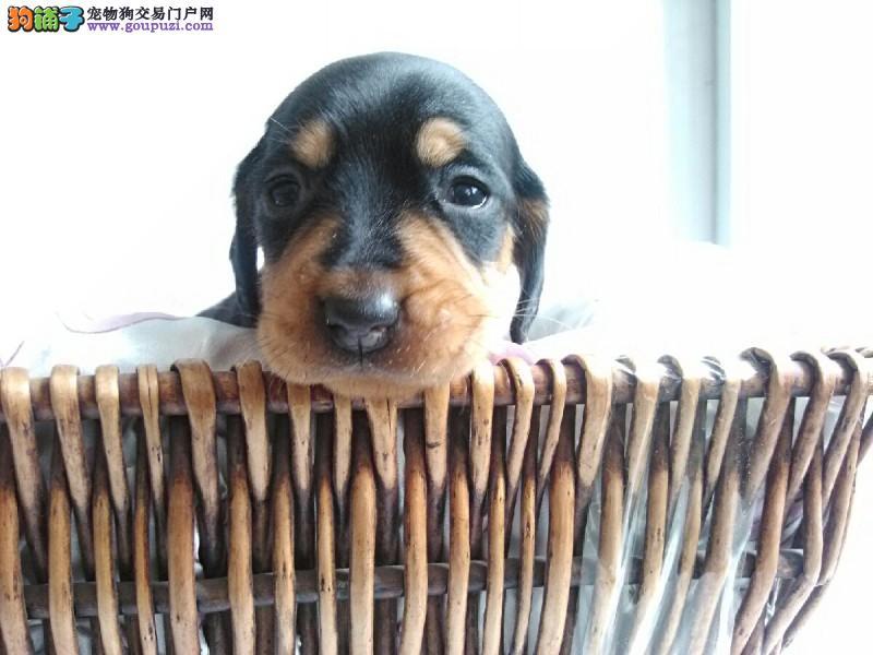 正宗极品长春腊肠犬绝对血统纯正均有三证保障