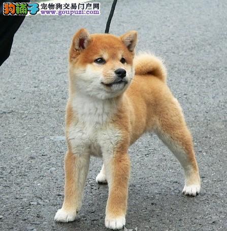 健康柴犬有保证 育苗齐全签合同 正规犬舍繁殖
