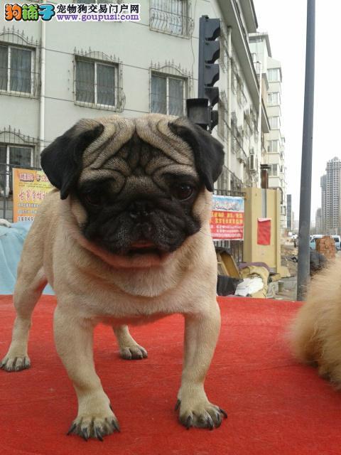 正规狗场 专业繁殖巴哥犬 保证纯种健康毛色纯正