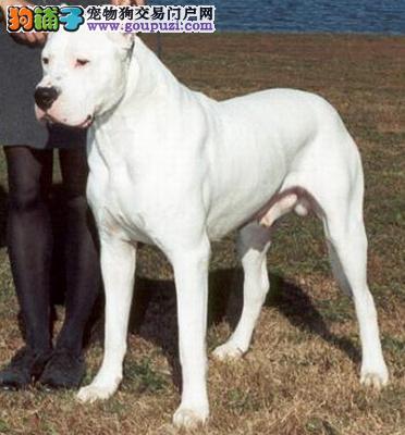 完美品相血统纯正丽水杜高犬出售下单有礼全国包邮