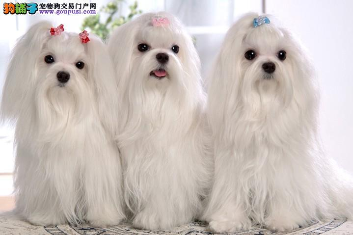 正规养殖基地出售马尔济斯幼犬保健康保血统