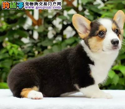 赛级品相北京柯基幼犬低价出售下单有礼全国包邮
