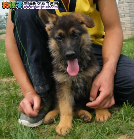昆明家养赛级狼狗宝宝品质纯正CKU认证绝对信誉保障