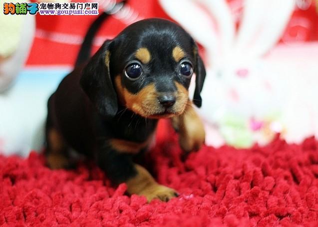 赛级腊肠犬宝宝、可办理血统证书、提供养护指导