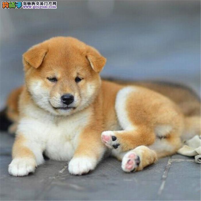 专业繁殖纯种日本 柴犬 有喜欢的过来,非诚勿扰