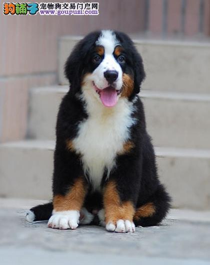 伯恩山幼犬得天独厚的传承者气质非凡