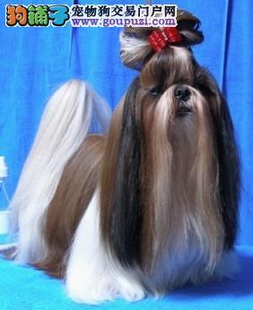 超美丽的长发爱犬,西施犬幼崽,超级漂亮!!