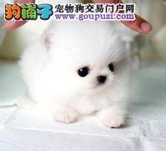 可爱博美幼犬 超西施赛貂蝉