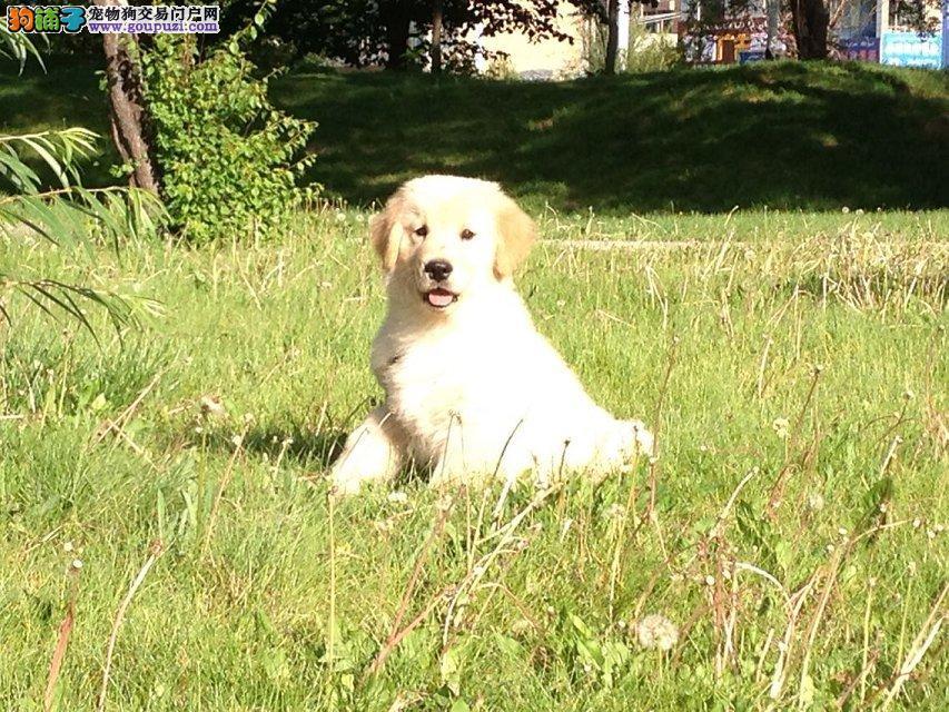 实体店出售精品金毛保健康微信咨询看狗狗照片