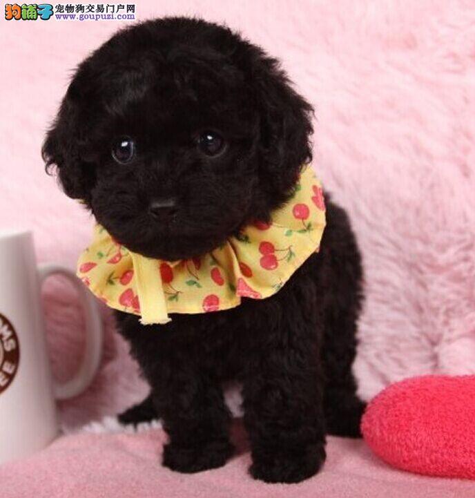 鹰潭实体店出售精品泰迪犬保健康签正规合同请放心购买