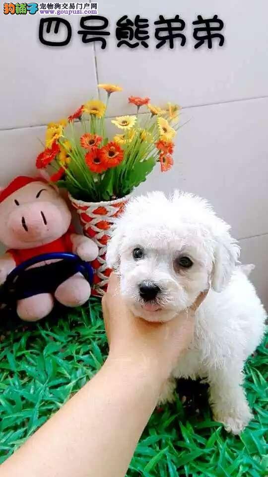 漯河宠物狗价格漯河比熊犬多少钱一只