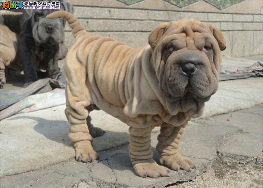 品种纯正的沙皮幼犬品质出众欢迎惠顾