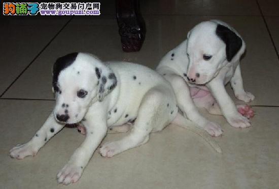 请问惠州哪里有卖斑点 惠州哪里有斑点狗