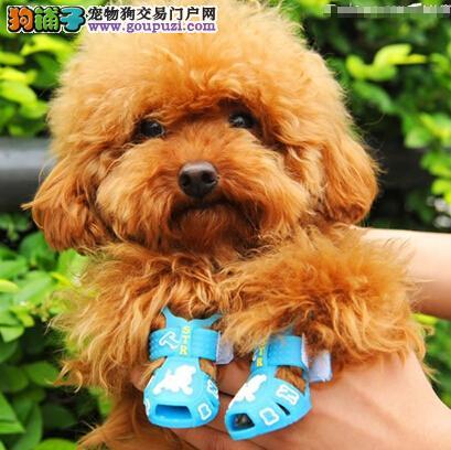 护理 贵宾犬/给贵宾犬做美容要注意以下几个方面: