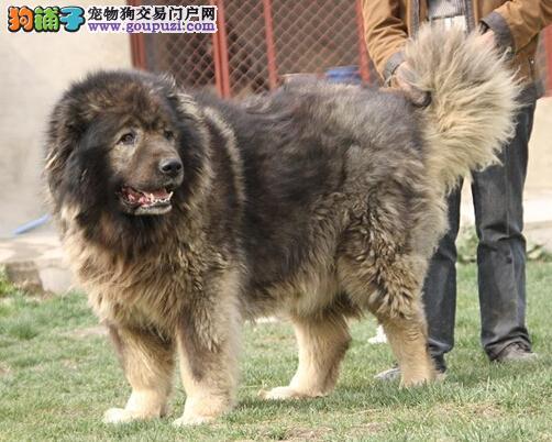 高加索犬的体温升高是怎么回事