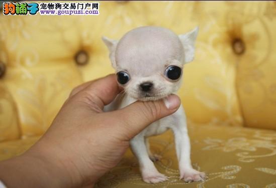 颜色全品相佳的茶杯犬纯种宝宝热卖中赛级品质血统保障