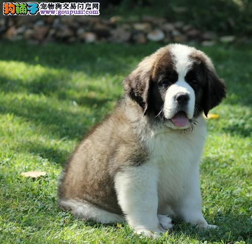 运城狗狗买卖圣伯纳犬多少钱圣伯纳犬怎么样