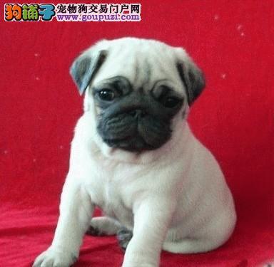 专业正规犬舍热卖优秀的上海巴哥犬诚信信誉为本
