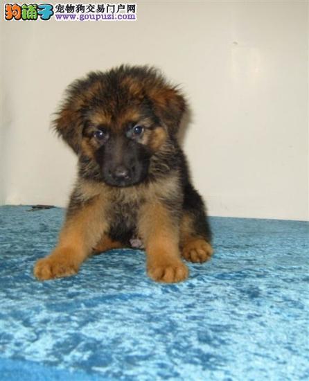 狼狗养殖基地出售纯种狼狗 欢迎实地选购