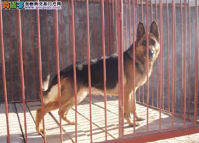 高品质的狼狗幼犬出售了 疫苗做完 质量三包