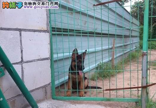 CKU认证犬业专业繁殖德牧宝宝 绝对信誉