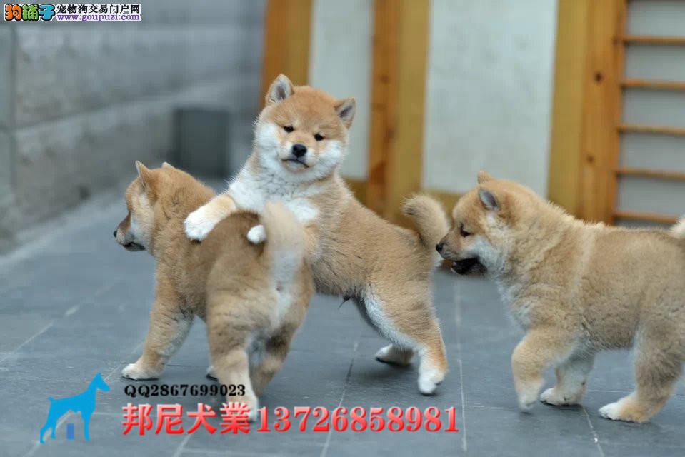 引进日本纯血统柴犬 纯血双冠日系柴犬 出售日本柴犬