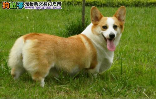 赠送用品+加户口  纯种柯基幼犬  健康质保签协议