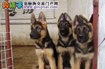 纯种狼狗 正规犬舍出售